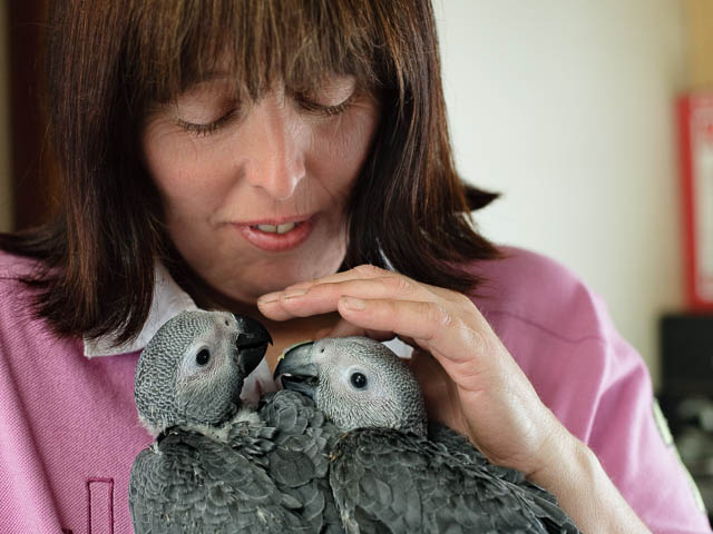 African Grey Parrots Being Hand Reared By Owner