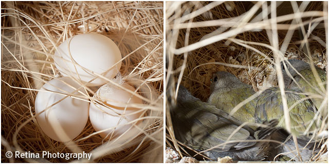 Gouldian Finch Eggs in Nest