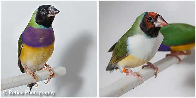 Gouldian Finches on Perch in Cage 04