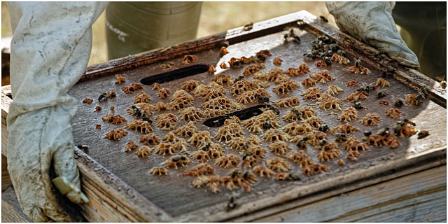 Bees Being Removed From Hive