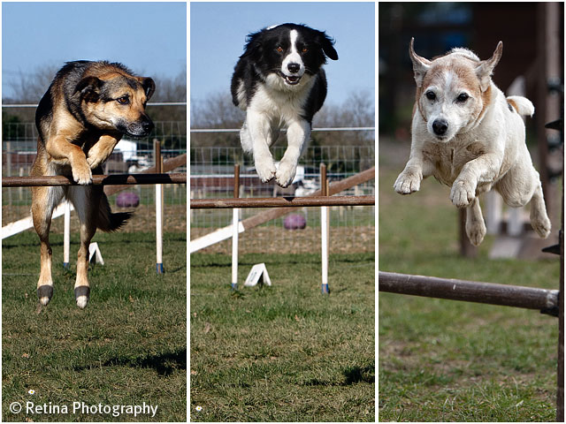 Dog Agility Jumping