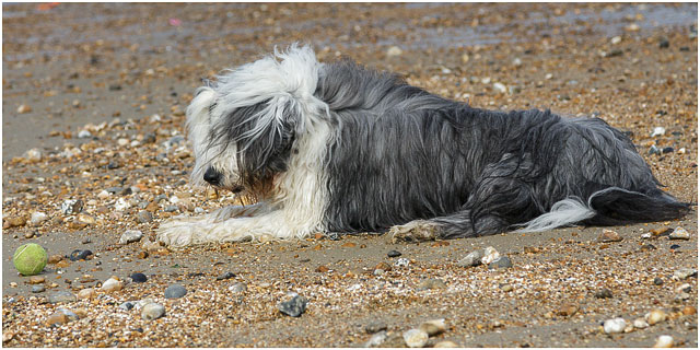 Bearded Collie Dog Playing Ball On Southsea Beach