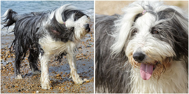 Portrait Of Bearded Collie Dog On Southsea Beach