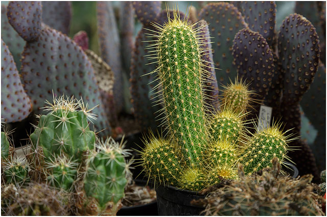 Background: Padded plants, Opuntia basilaris; Foreground, left Thelocactus leucanthus ssp. schmollii; right Echinopsis (Lobivia) huascha ssp. rubriflora.