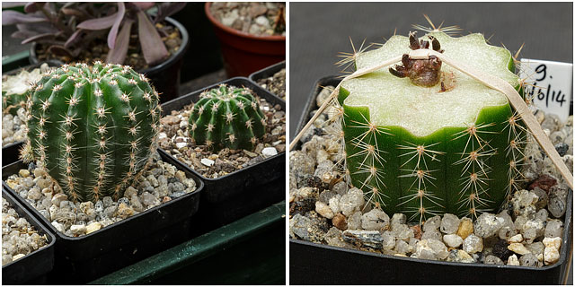 Close Up Of Echinopsis Cactus Plant With Graft