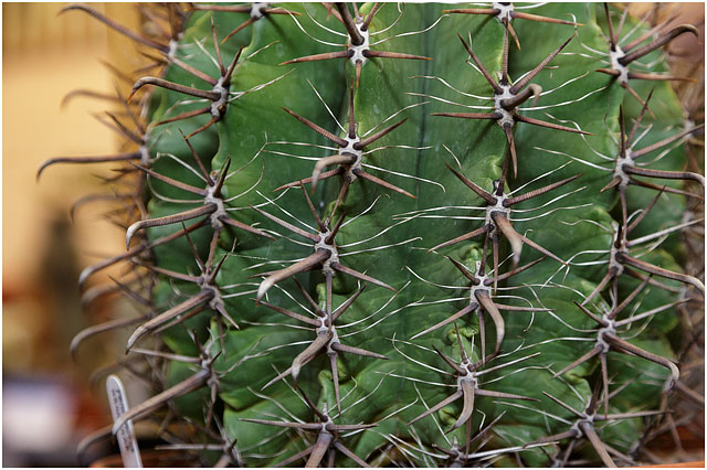 Close Up Of Spines On xxx Cactus