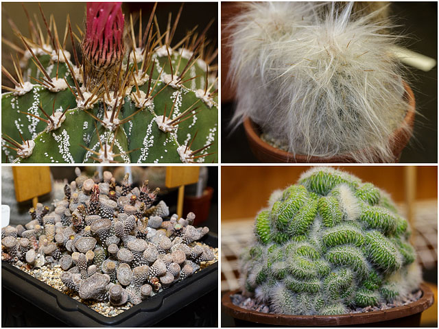 Four Examples Of Cacti And Succulents From The Portsmouth Branch British Cactus And Succulent Society Show 2014 01