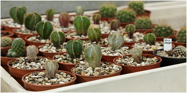 Immature Cacti Growing In Greenhouse Nursery