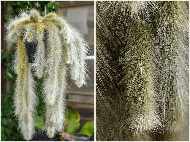 Monkey Tail Cactus Plant Hanging From Suspended Pot